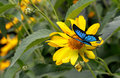 Beautiful butterfly sitting on a yellow flower rudbeckia. Royalty Free Stock Photo