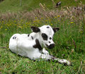 Beautiful calf new Royalty Free Stock Image