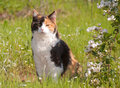 Beautiful calico cat sitting in grass next to wild blackberries full bloom Royalty Free Stock Images