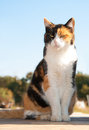 Beautiful calico cat sitting on porch Royalty Free Stock Images