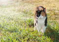 Beautiful calico cat walking on dewy grass Stock Photos