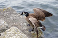 Beautiful canada goose has jumped on the rock from the water of lake Royalty Free Stock Photo