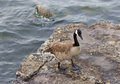 Beautiful canada goose is staying on the rock near the water of lake Royalty Free Stock Images