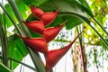 Beautiful Caribbean Heliconia ...