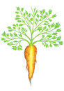 Beautiful Carrot Stock Images