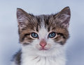 beautiful cat on a blue background Royalty Free Stock Photo