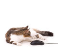 Beautiful cat with computer mouse Stock Photography
