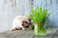 Beautiful cat with feline grass.  Cat Grass for cat health. Pet Royalty Free Stock Photo