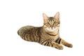 Beautiful cat isolated on white background Royalty Free Stock Photo