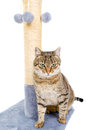 Beautiful cat with scratching post Royalty Free Stock Photo
