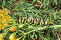 Caterpillar monarch on yellow flowers in the garden Royalty Free Stock Photo