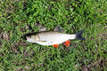 Beautiful caught chub fish laying on the grass Royalty Free Stock Image