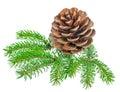 Beautiful Cedar Pine Cone And ...