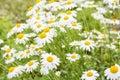 Beautiful Chamomile flowers Royalty Free Stock Photo