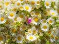 Beautiful chamomiles field at the sun Royalty Free Stock Photo