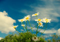 Beautiful chamomiles on a sky background Royalty Free Stock Photo