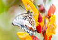 Beautiful charaxes castor castor perching on flower thumbergia mysorensis close up Stock Photography
