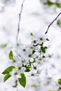 Beautiful cherry blooming flowers on tree branch Stock Photo
