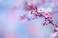 Beautiful cherry blossom