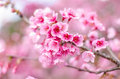 Beautiful cherry blossom pink sakura flower in thailand Royalty Free Stock Photos