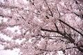 Beautiful cherry blossom sakura in pink background.
