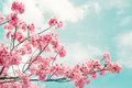 Beautiful cherry blossom sakura in spring time over blue sky. Royalty Free Stock Photo