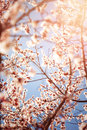 Beautiful cherry blossom in spring time season floral wallpaper white abstract natural background selective focus little white Stock Photography