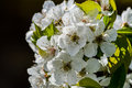 Beautiful cherry blossoms on black background Royalty Free Stock Photo