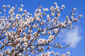 Beautiful cherry blossoms on a warm and sunny spring day Royalty Free Stock Image
