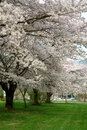 Cherry Trees In Spring With Fu...