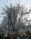 stock image of  Gorgeous cherry trees Blooming on the streett