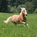Beautiful chestnut horse with blond mane running in freedom some trees on the background Stock Photography