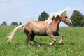 Beautiful chestnut horse with blond mane running in freedom some trees on the background Royalty Free Stock Photos