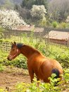 Beautiful chestnut Horse rural Stock Photo
