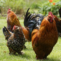 Beautiful chickens in the park Stock Images
