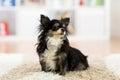 Beautiful chihuahua dog indoors