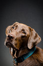 Beautiful chocolate lab Royalty Free Stock Photo