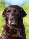 Beautiful chocolate lab looking into the distance Royalty Free Stock Photo
