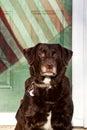 Beautiful Chocolate Labrador Retriever posing Royalty Free Stock Photo