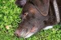 Beautiful Chocolate Labrador Retriever relaxing in fresh spring grass Royalty Free Stock Photo