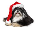 Beautiful christmas havanese dog with santa hat and white beard happy lying bichon in a isolated on a background Stock Images