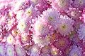 Beautiful chrysanthemum background Stock Photo