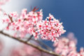 Beautiful close up cherry blossom chiang mai thailand Stock Image