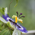 Beautiful close up image of passion flower on the vine Royalty Free Stock Photo