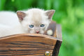 Beautiful close up portrait purebred pedigree burmese kitten outside very first time enjoying looking around nature very curious Stock Image