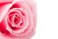 Beautiful close up rose pink Stock Image