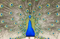 Beautiful close up view of a peacock Stock Photo