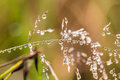 Beautiful closeup of a bent grass on a natural background after the rain with water droplets. Royalty Free Stock Photo