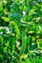 Beautiful closeup of green fresh peas and pea pods. Healthy food. Macro shooting Royalty Free Stock Photo