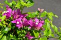 Closeup Pink Phra Phong Flower in the garden